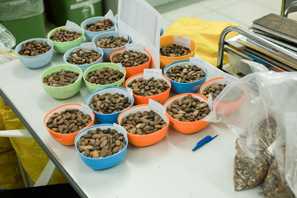 Cocoa Beans  (Makassar) Web Version
