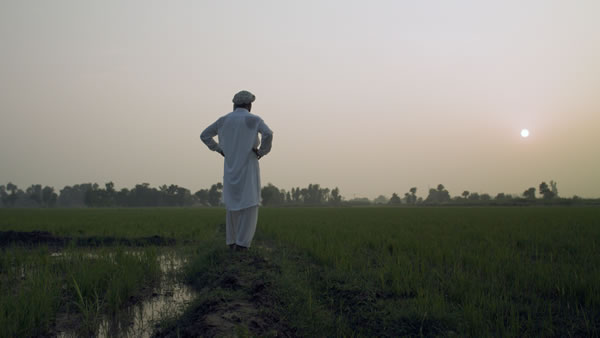 Rice Farmer Sajid Ali  Looks Out Over His Fields  (Pakistan) Web Version
