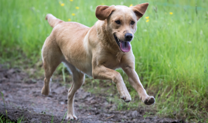 Dog running outside in a grassy field.