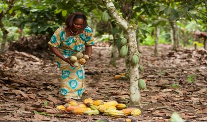 Women farmers harvesting cocoa pods in the rainforest.